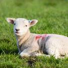 Spring Lamb lying in field in evening sun. Stock image.
