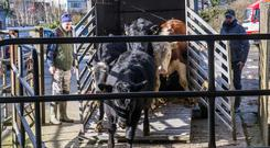 Cattle arriving to Carrick onh Suir Mart. Picture: Pat Moore