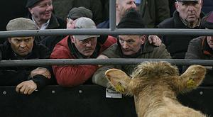 Annual Continental Show & Sale of Heifers Elphin Mart. Avoid Eye Contact at The Mart. Photo Brian Farrell