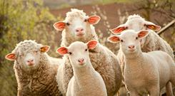 EWE AND YOURS: Scientists used sheep for the groundbreaking experiment because their organs are a similar size to humans'