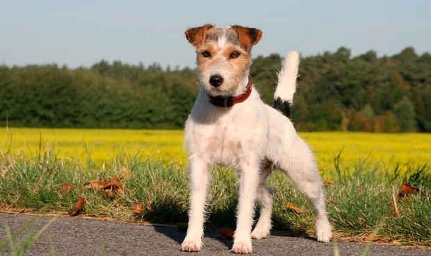 A Parson Jack Russell terrier, not to be confused with a more typical Jack Russell terrier