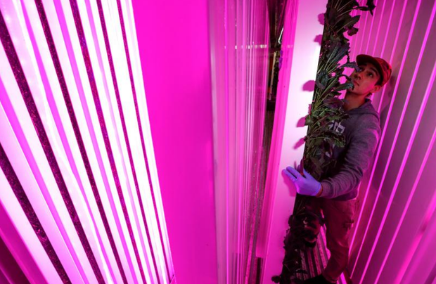 Farmer Erik Groszyk holds a rack of Tuscan Kale growing inside his hydroponic climate controlled farm, one of 10 repurposed 320-square-foot metal shipping containers where entrepreneur farmers enrolled in the