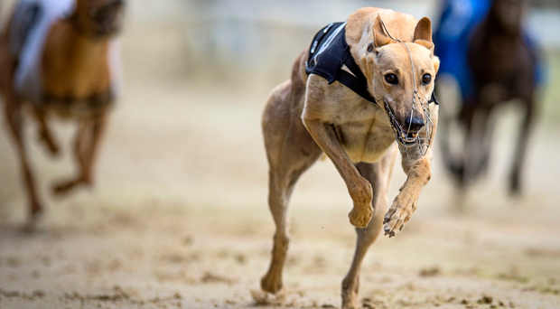 There is a slight worry about the Dowling runners as the kennel has had a bit of sickness during the week (stock picture)