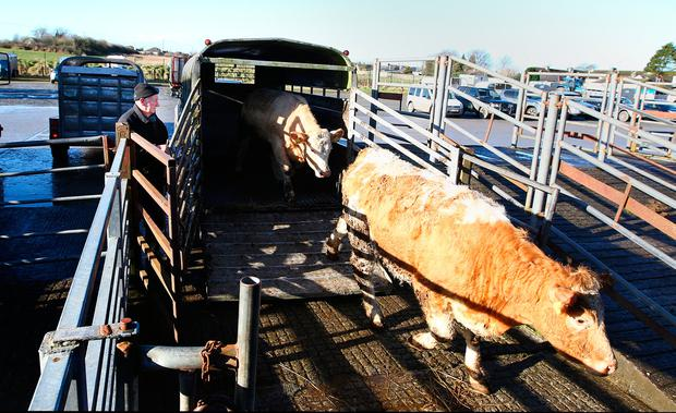 Tom Mulcahy unloads his cattle for Nenagh Mart. Photo; Gerry Mooney