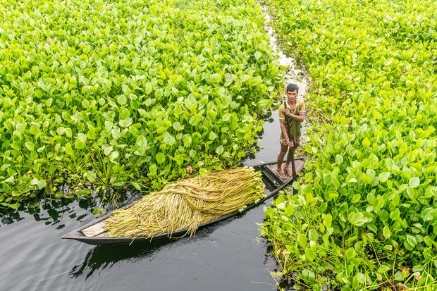 Bangladeshi farmer sitting on a boat, picking water lily Munshigonj, Bangladesh.