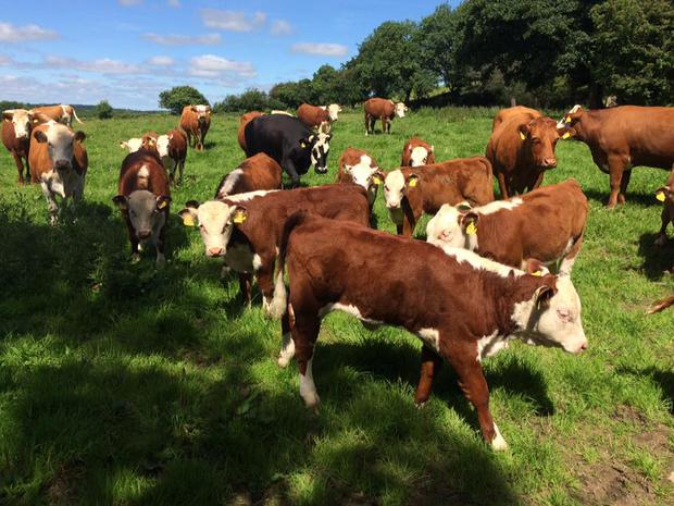 Spring calves at Mount Briscoe