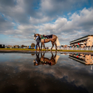 The image of a runner in the pre-parade ring is reflected in a nearby pool of water at Warwick yesterday Photo: Alan Crowhurst/Getty Images