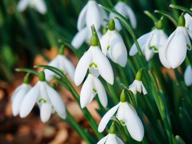 Snowdrops: One of the first
