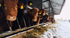 Cattle in from the snow this week.