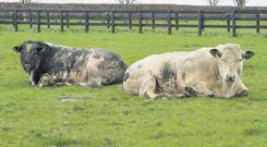 Two first season Belgian Blue stock bulls on the Talbot holding