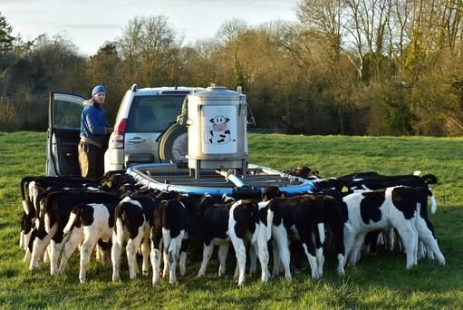 Photo at feeding time, with the local designed/manufactured 40 outlet feeder on Lester Ryans farm Dunbell Co Kilkenny. Feeding 32 calves 18 weeks old out on grass. Photo Roger Jones.