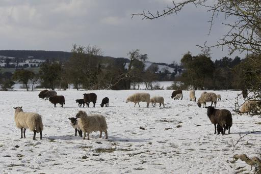 Sheep pictured in the snow. Pic COLIN ORIORDAN