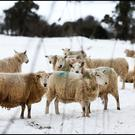 Sheep keeping an eye out for the Beast from the East. Pic Steve Humphreys