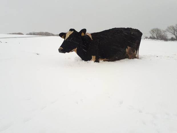 Harold Kingston captured this picture of one of his cows struggling in the snow in Cork this week. Pic: @HaroldKingston1