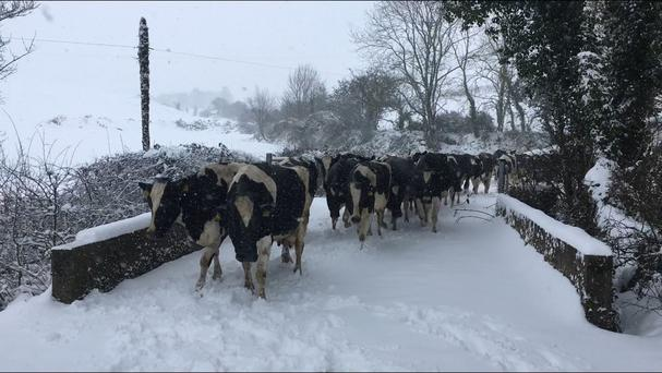 Many farmers have been unable to milk due to frozen milking parlours, while others have no capacity for milk as milk lorries fail to reach them. Picture: Catherine Hurley