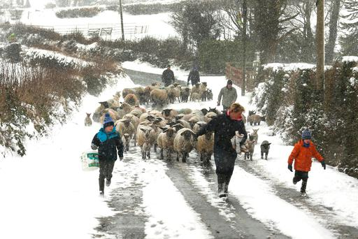 The Kavanagh family from Drumphea Co Carlow, move sheep from fields into shelter ahead of the arrival of storm Emma. Photo: Finbarr O'Rourke