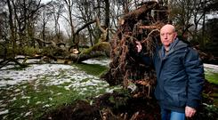 Paul Maher, curator of the National Botanic Gardens in Glasnevin, examines an ash tree which was planted in 1888 after it fell from the weight of the snow on its branches.