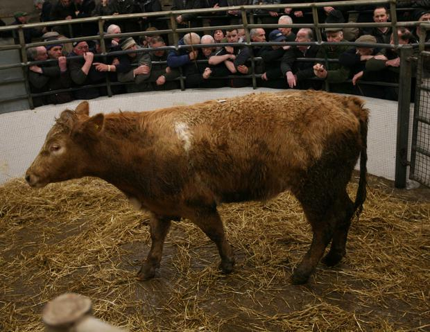 8/3/2018 Castlerea Mart Lot Number 10D Weight 575K DOB 20/3/16 Breed CHX Sex Bullock Price €1360 Photo Brian Farrell