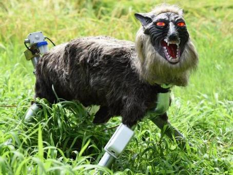 A wolf-like robot is being used to drive away wild animals that damage crops in Japan (AFP/Getty)