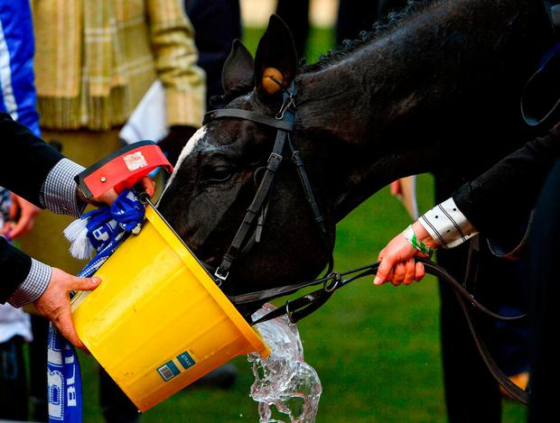 Penhill enjoys a well-earned drink of water yesterday after giving trainer Willie Mullins another victory at Cheltenham in the Stayers' Hurdle. Photo: Ramsey Cardy/Sportsfile