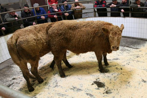 21/3/2018 Ballinasloe Mart, Co Galway Lot Number 21 Weight 557K (avg) DOB 13/5/16 . 15/5/16 Breed LM Sex Bullock (2) Price €1430 Photo Brian Farrell