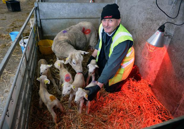 TECHNICIAN and proud midwife Henry Walsh with the Belclare ewe and her six lambs he helped deliver at the Teagasc campus in Athenry. Photo; Ray Ryan.