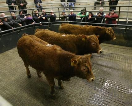 Gort Mart. Lot Number 35, Weight 390K Avg, DOB 14/4/17 to 23/5/17, Sex Male, Price €1000 Photo Brian Farrell