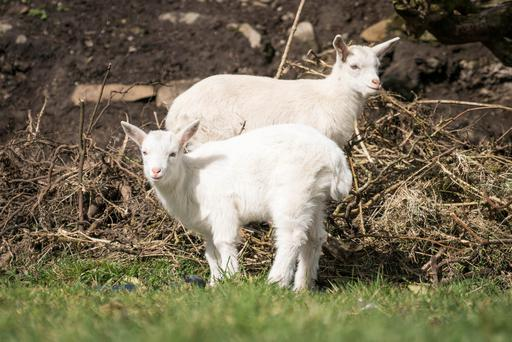 Twin Geeps named This and That belonging to Angela Bermingham at her home in Murneen, Claremorris, Co. Mayo. Photo : Keith Heneghan