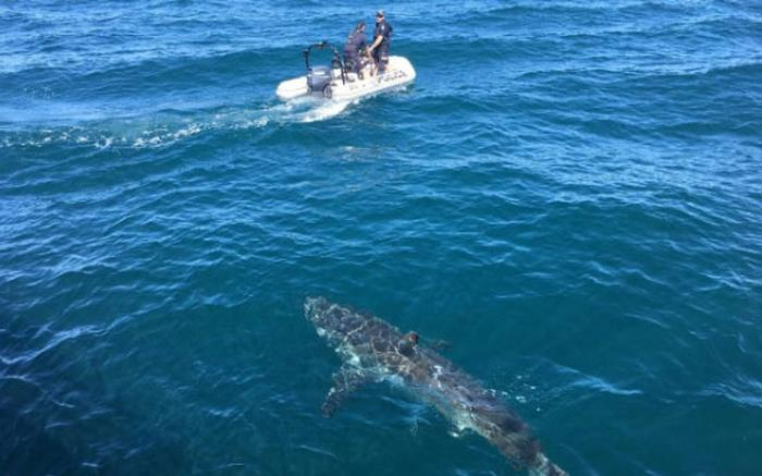WATCH: Police patrol boat stalked by a great white shark