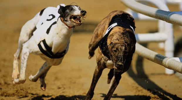 Droopys Davy and Droopys Biker remain the favourites in advance of this evening's third-round heats in the Kirby Memorial at Limerick (stock picture)