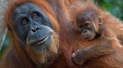 Orangutans, native to Borneo as well as Indonesia's Sumatra island, are faced with extinction from poaching and the rapid destruction of their forest habitat, driven largely by land clearance for palm oil and paper plantations. Photo: Romeo Gacadromeo/AFP/Getty Images