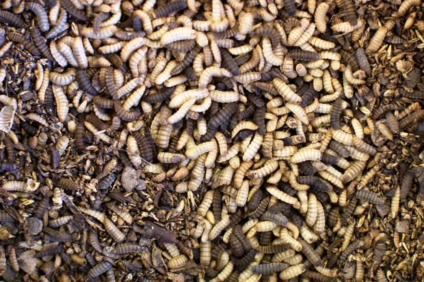 Black soldier fly larvae at the Enterra Feed Corporation in Langley, British Columbia, Canada, REUTERS/Ben Nelms