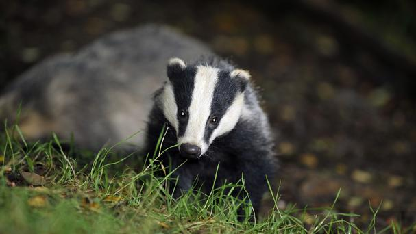 Staff first spotted some dug-out earth on Wednesday evening, and later spotted the badger on closer inspection (Ben Birchall/PA)