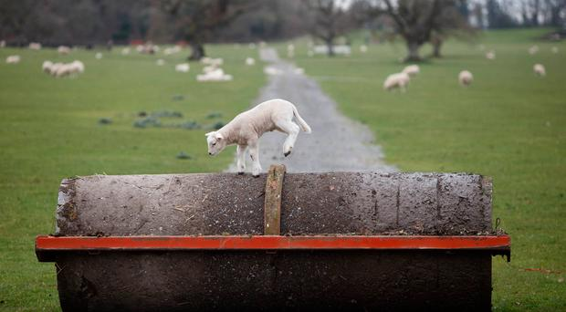 This lamb takes takes to the stage and gets in some dance practice on one of the camp sites at the home of Electric Picnic at Stradbally Hall. Picture: Alf Harvey.