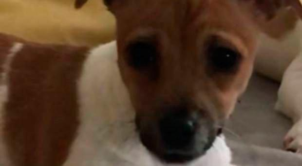 Social media appeal over the theft of the small white and tan Jack Russell-type pup named 'Hobalong'.