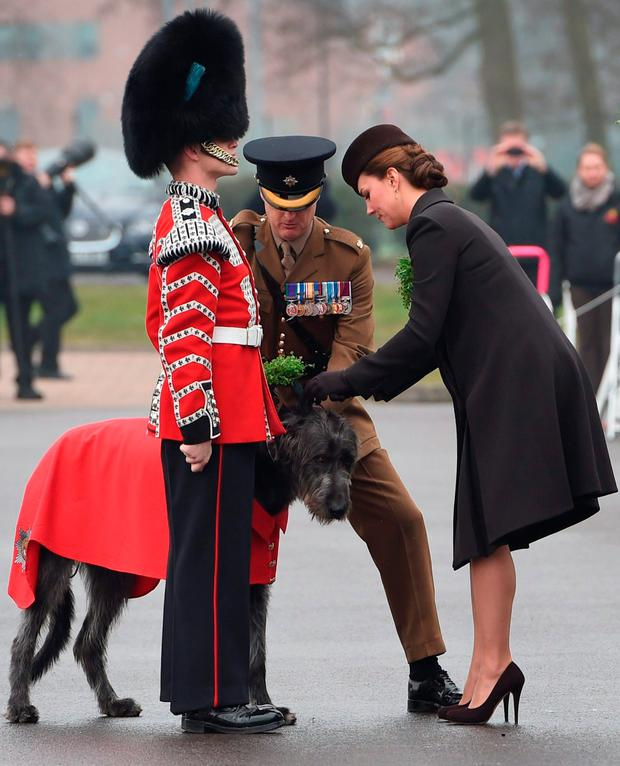 The Duchess of Cambridge prepares a sprig of shamrock to attach to Irish wolfhound Domhnall, the Irish Guards' regimental mascot. Photo: Getty