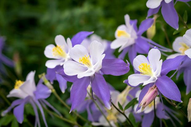 Aquilegia - lso known as columbines
