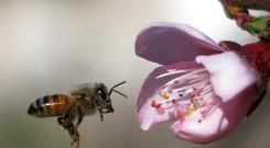 A bee hovers near a peach flower that bloomed early in Ain Jdedah village in Mount Lebanon March 6, 2016. REUTERS/Jamal Saidi/File Photo