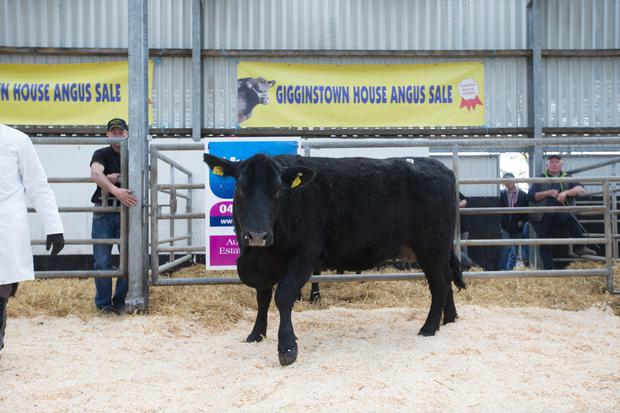 Gigginastown Blackcap R432, DOB 07/11/2015, made €3,856.00 at the Gigginstown House Angus Sale at Fennor Farm, Mullingar, Saturday 28 April 2018. Picture: Alf Harvey.