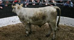 25/4/2018 Elphin Special Sale of Bullock and Heifers Lot Number 6A Weight 640K DOB 2/1/16 Breed CH Sex Bullock Price €1370 Photo Brian Farrell