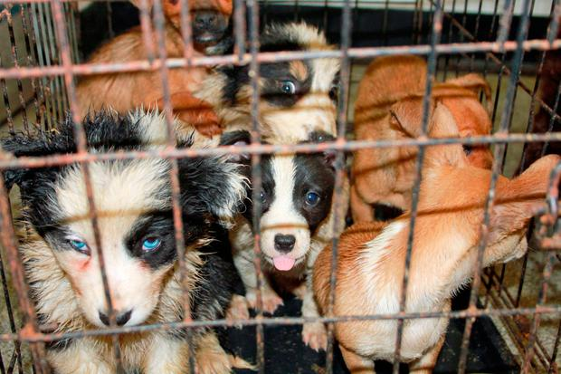Undated handout photo issued by the Scottish SPCA of puppies that were seized by animal inspectors at Cairnryan in Dumfries and Galloway, as part of Operation Delphin, after they were smuggled from Ireland. Scottish SPCA/PA Wire