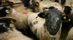 Sheep in Manorhamilton Mart. Photo Brian Farrell