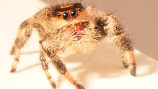 Kim is a 'regal jumping spider' or Phidippus regius. Photo: Manchester University