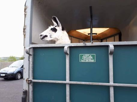 The llama on its way to a foster home. Picture: Limerick Animal Welfare (LAW)