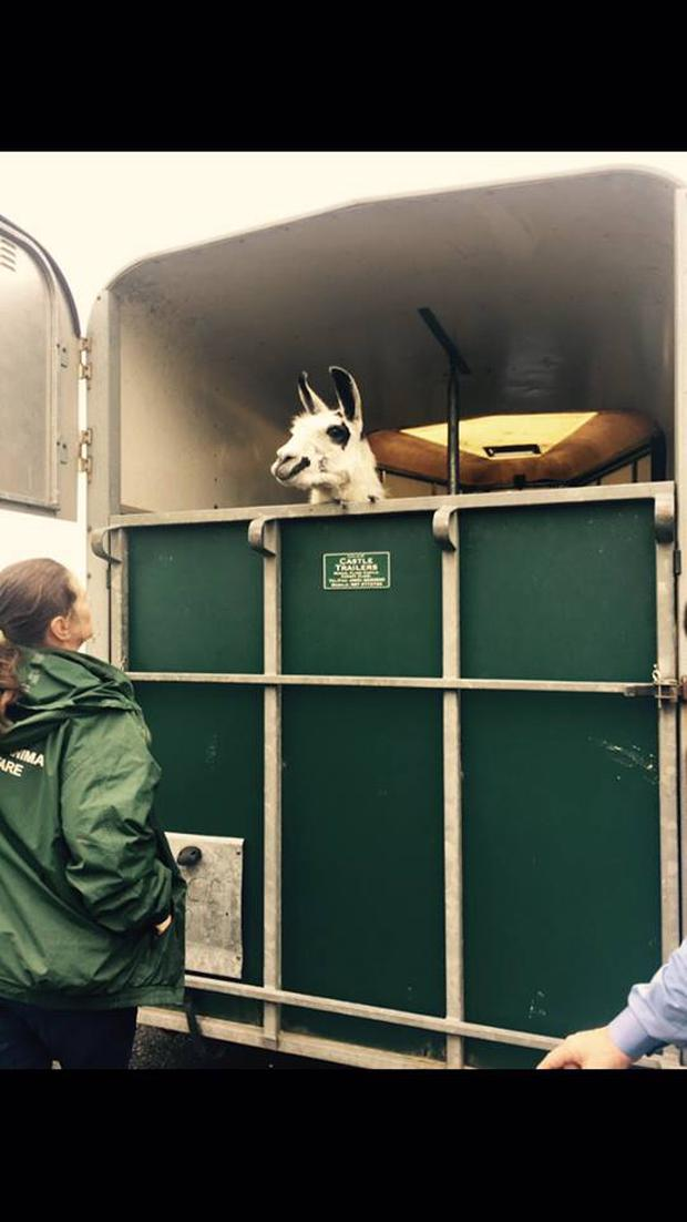 The Limerick llama as it heads to a foster home. Picture: Limerick Animal Welfare (LAW)