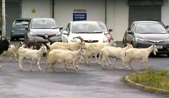 Wild goats are causing trouble in Co Clare