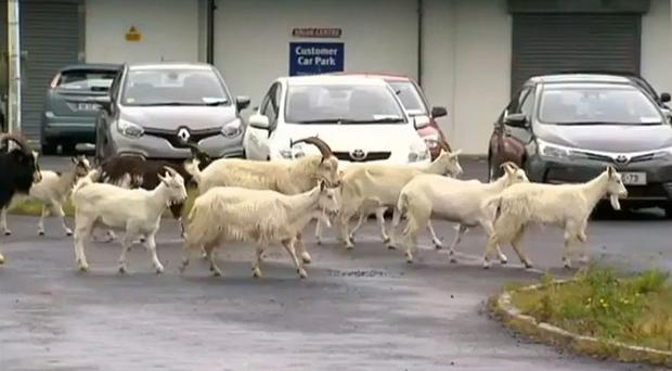 61-year-old farmer saves wild goats causing havoc in small town