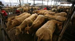 Full pens at the mart. Photo Brian Farrell