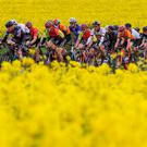 The peloton rolls past a field of rapeseed near Trim, Co Meath, during stage one of the Rás Tailteann. Photo: Bryan Keane/INPHO