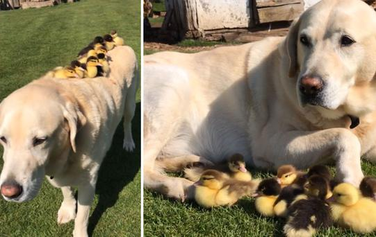 Fred the Labrador adopted nine fluffy ducklings and it's the cutest thing ever